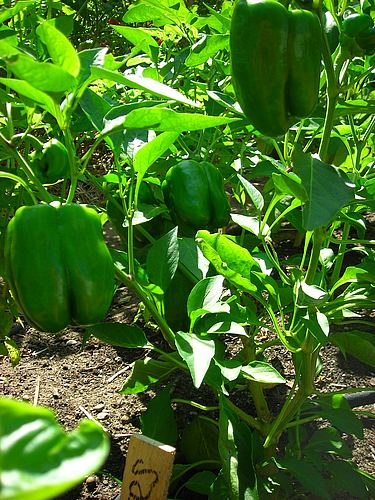 Peppers growing on pepper plants