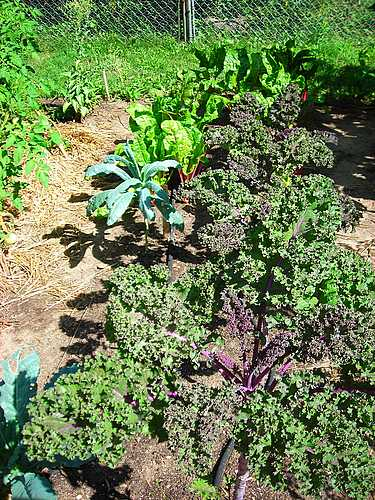 Lettuce and Kale growing