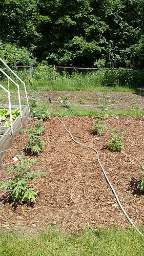 Garden with tomato plants