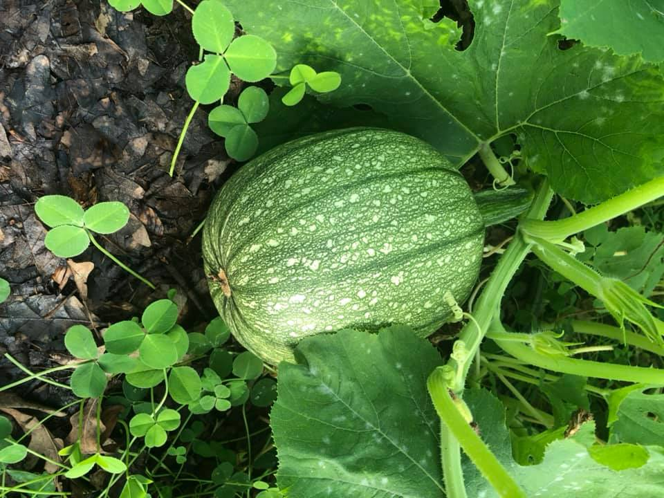 a growing pumpkin